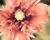 Opium Poppy Fine Art Photo - Macro - 5 x 5 Salmon - Apricot - Mauve - Peach - BrookeRyanPhoto