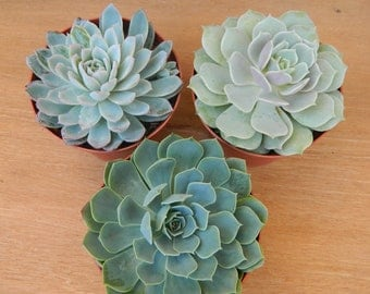 3 Succulent Rosettes Shape for  Winter Wedding Bouquets, Wedding Cake Toppers, Centerpieces