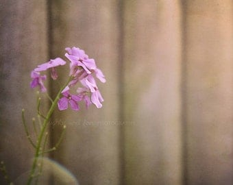 Purple Phlox Fine Art Photography Shabby Chic White Lavender Mauve Pink Flower Distressed Wood Fence Gray Spring Cottage Home Decor Wall Art