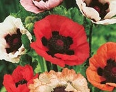 Poppy - Oriental - Mixed Colors - Heirloom - Perennial -  25 Seeds