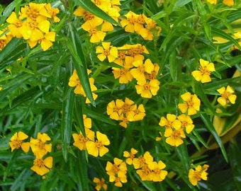 Tarragon Herb - Heirloom - Perennial - 25 Seeds