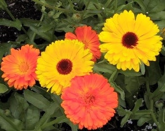 Calendula - Mixed Colors - Many Medicinal Properties - 25 Seeds