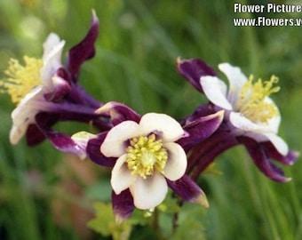 Columbine - Purple - 30 Seeds - Heirloom - Very beautiful
