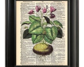 BOTANICAL Art Print Cyclamen Plant Flower Botany Illustration on Upcycled Antique 1930's English Dictionary Book Page Art  8x10