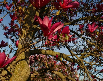 Pink Magnolia Flowers - Nature Photograph