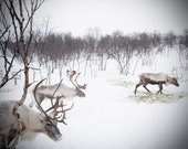 Extra Large Wall Art-Christmas Reindeer Photo-Winter in Norway Snow-Animals Roaming-Wall Art-Fine art Photography-20x30