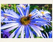 Periwinkle Blue Aster Daisy with Honey Bee handmade photo notecard