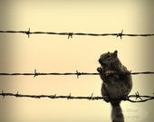 5X5 Sepia Vintage squirrel on the Barbed Wire eating Corn Square Photograph with black backing frame