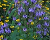 Blue Vervain Seeds - Native Wildflower