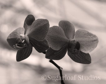 Black and White Orchid 7 -- Fine Art Floral Photography Print -- Photo, Home Decor, Flowers, Art