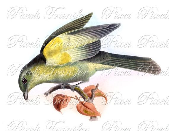 Birds Instant Download Clipart YELLOW Digital Download, natural history birds illustration 109