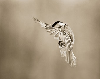 Chickadee, Bird photography, Fine art photography, Love bird, 8x10 bird print, Sepia prints, bird photograph, flying bird