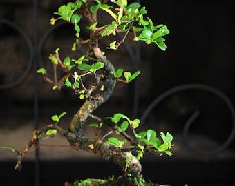 Live Fukien Tea Tree Bonsai - Free Shipping - Nice Gift