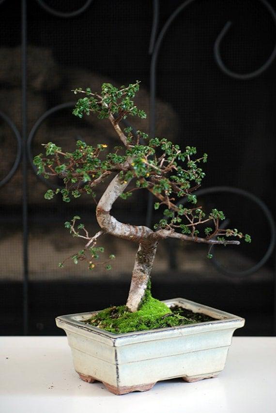 Live Chinese Elm Tree Bonsai Free Shipping Nice Gift