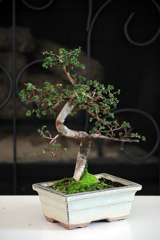 Live Chinese Elm Tree Bonsai - Free Shipping - Nice Gift