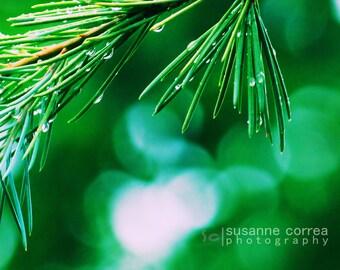 4 - 8x10 Pine Tree in the Rain, close up, fine art photography, home decor,