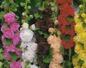 Hollyhock Fordhook Giant Mix, Variety of Colors, Perennial Seeds, Attract Hummingbirds