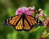 Plant a Butterfly Attraction, Milkweed Mix, 100 Perennial Seeds