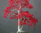 Japanese Red Maple, Bonsai Tree, Seeds, Grow Your Own, 5 Seeds