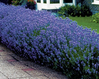 Lavender Munstead, Perennial Seeds, Great for Drying and Decorating, 25 Seeds