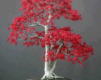 Japanese Red Maple, Bonsai Tree, Home or Office Decor, Miniature Tree, Grow Your Own, 5 Seeds