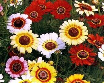 Painted Daisy, Tricolor, Unique Colored Flower, 50 Seeds
