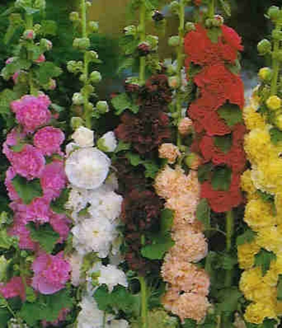 Hollyhock Colors: Hollyhock Fordhook Giant Mix Variety Of Colors Perennial