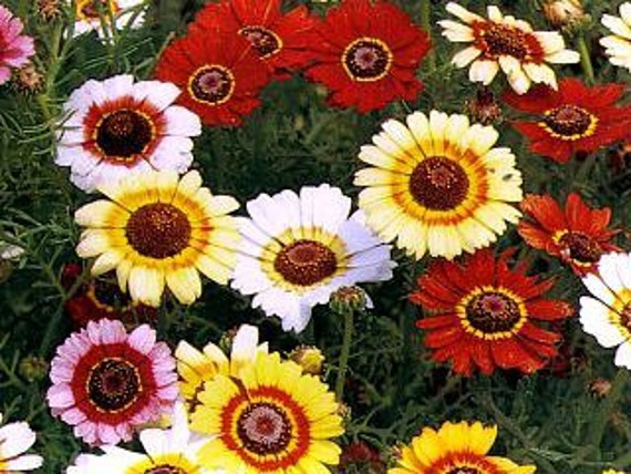Painted Daisy, Tricolor, Unique Colored Flower, 50 Seeds