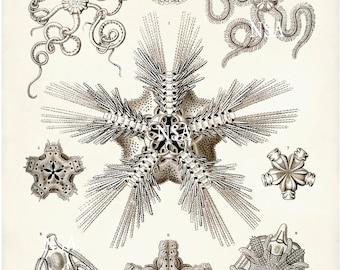 Brittle Starfish Art Print, Art Nouveau Scientific Illustration, Ernst Haeckel Poster, Educational Art, Biology Print