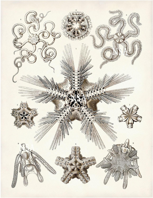 Brittle Starfish Art Print Art Nouveau Scientific