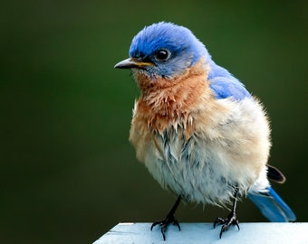 "Bluebird Photo Print 8x10 ""Bluebird of Unhappiness"", Nature Photography, Wildlife Photograph, Wall Art"