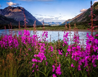 "Alaskan Fireweed Nenana River Photograph Print  ""Fireweed Summer"" 8x12 (or larger) Fine Art Photography"