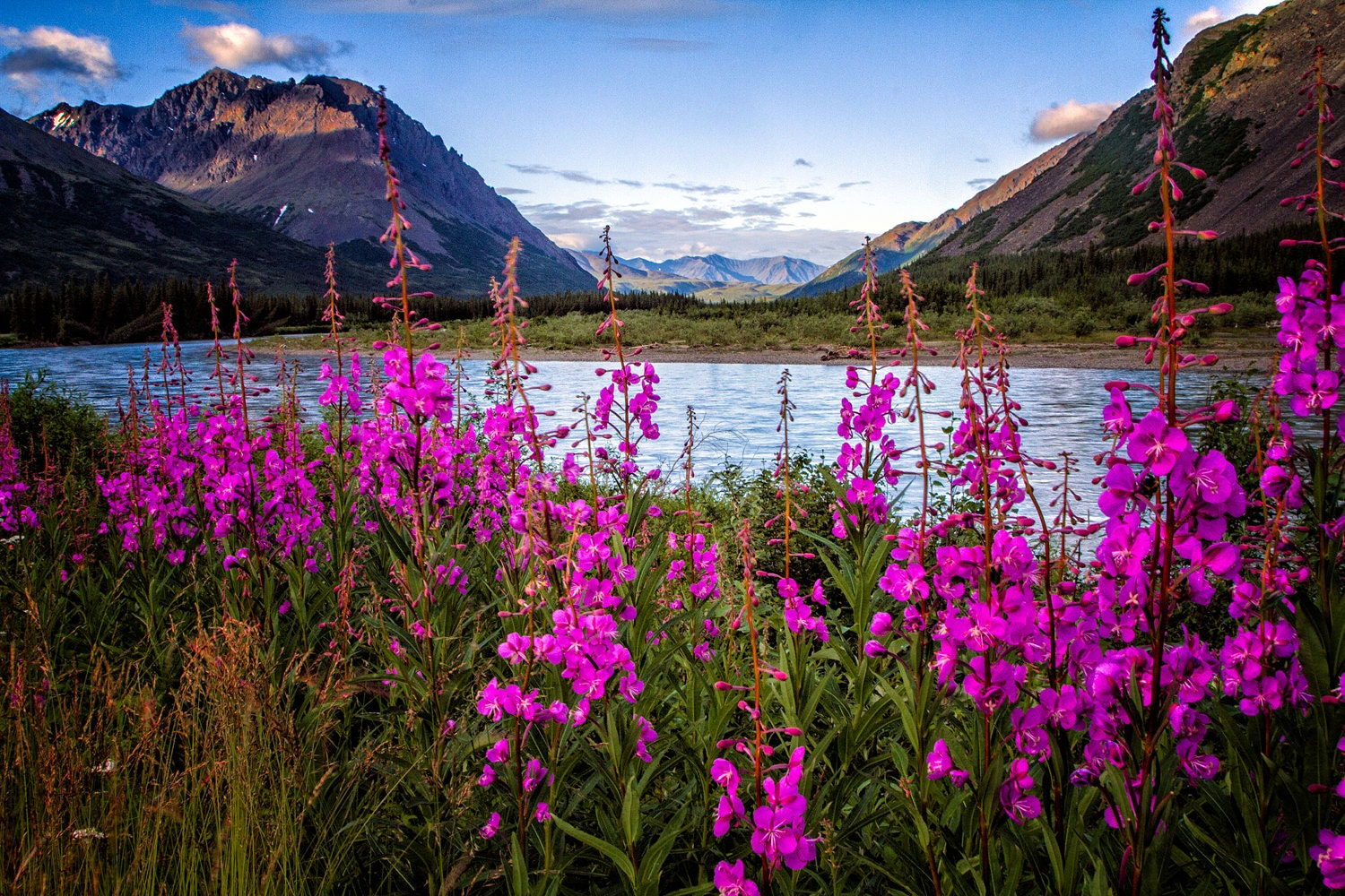 Outside Plants Alaskan Fireweed Nenana River Photograph Print Fireweed