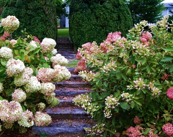 Nature Photography - Hydrangea Walkway - Landscape, Flower, Floral, Southern Photography