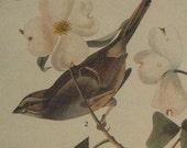 White-Throated Sparrow 1937 Antique Audubon Original Book Plate / Print for Framing or Artwork