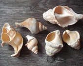6 med-large scottish shells arts and crafts jewellery