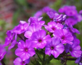 Flower Photography, Purple Phlox, 8x10 Art Print