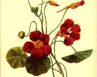 Redoute Botanical Print -  - Capucine- 139
