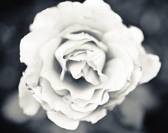 Bucks County Rose Black and White - Photography --  8x12