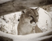 Mountain Lion (sepia tone)
