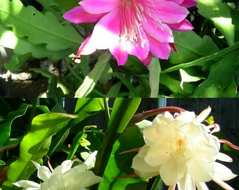Two Pcs Orchid Cactus Epiphyllum Oxypetalum, One Pink and One White, P1294-1680