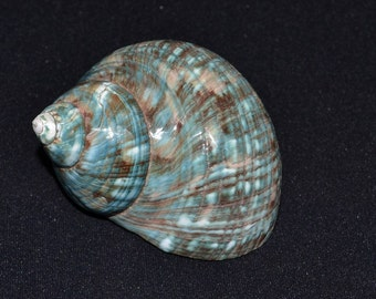 "Polished GREEN JADE Turbo Hermit CRAB Sea Shell 3"" - 3 1/2"""