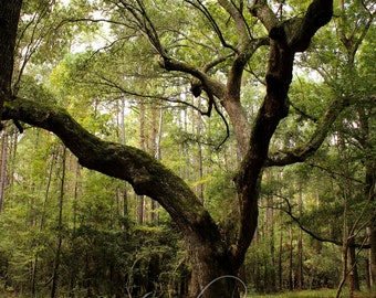 Magnolia Plantation Angel Oak