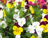 """0.2g (approx. 200)  horned pansy seeds VIOLA CORNUTA  mixed color """"Bambini  Mix"""", good for baskets, containers or a groundcover <Fresh seed>"""