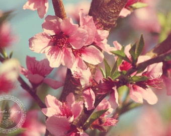 Pink Cherry Blossoms - Photography Print, Nursery Decor, Home Decor, Blue, Shabby Chic, Cottage Chic, Floral, Dreamy