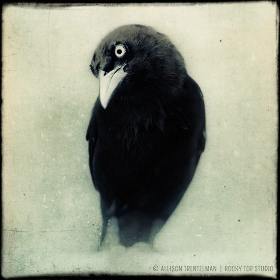 "Raven - Crow - Black and White Photo - Halloween Decor - Spooky Gothic Art - Dark Art - Black Bird Fine Art Photo - Goth Art ""Grackle No. 1"" - RockyTopPrintShop"
