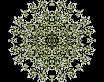 Queen Anne's Lace - Gentle Way Flower Mandala Art