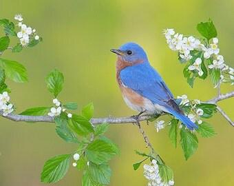 Eastern Bluebird, 8x10 Wildlife Photography, Blue Bird, Animal Photography, Nature Photograph, Spring Flowering Tree Blossoms, Songbird Art