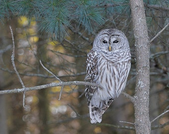 Owl, Barred, 8x10 Animal Photography, Wildlife Nature Photo, Wild Bird Print, Kids Wall Art, North Woods Cottage Cabin Decor, Wise