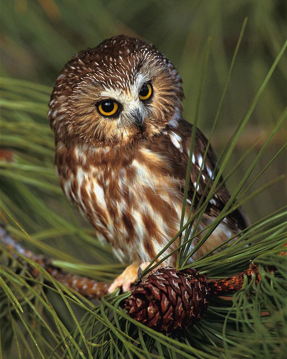 Saw Whet Owl 8x10 Wildlife Photography Animal Photography